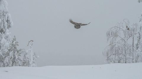 Aigles royaux