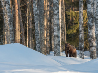 Glouton, Finlande