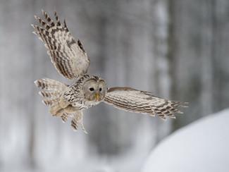 Chouette de l'Oural, Finlande