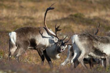 Renne, Rangifer tarandus, Caribou