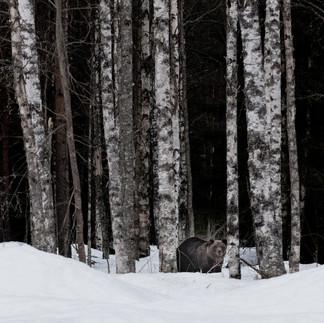 Ours brun - Ursus arctos - Brown bear
