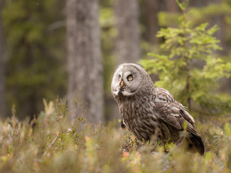 Chouette Lapone, Finlande