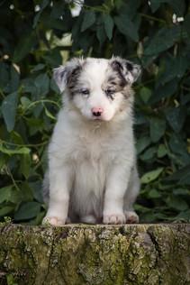Border Collie Blue Merle cachorro.jpg