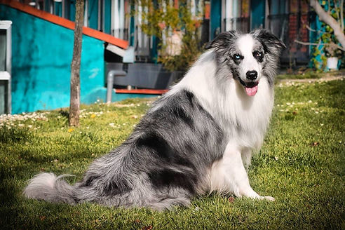 Criadores de Border collie blue merle