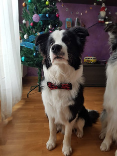 Border collie Saaw Everything is Possibl