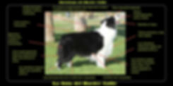 morfologia border collie