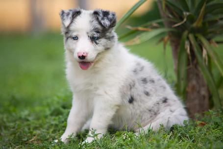 cachorro blue merle.jpg