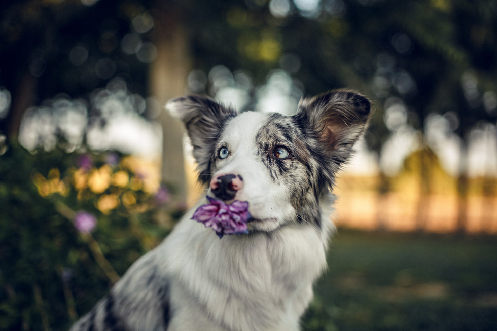 border collie flor.jpg