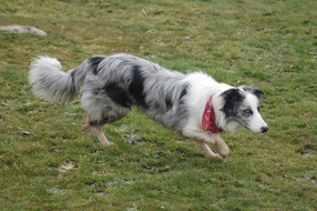 Winter RRC 0139436, Border Collie