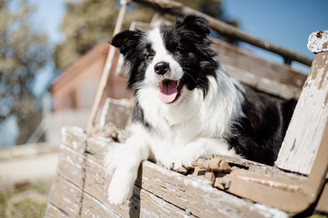 Criadores Border Collie