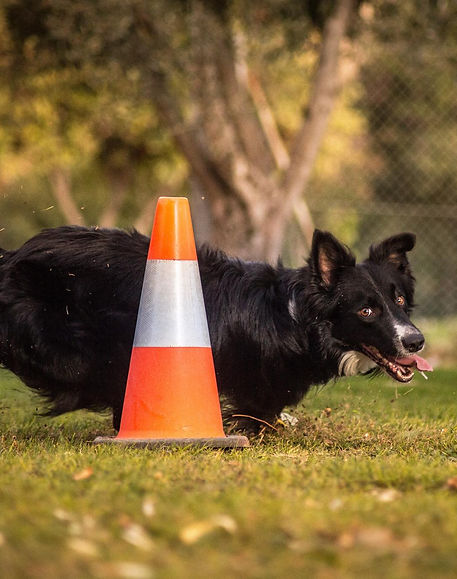 Border Collie de trabajo, OCI