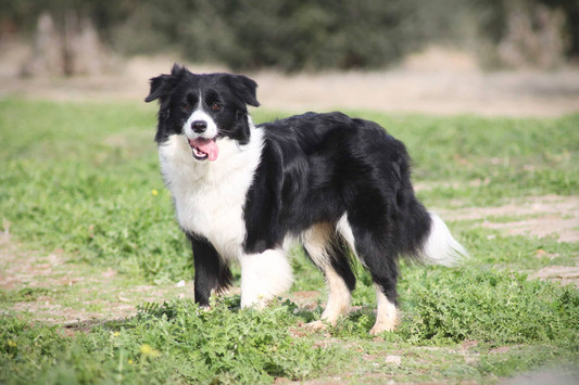 Wcinania Holly Stars Border Collies