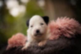 cachorro de border collie.jpg