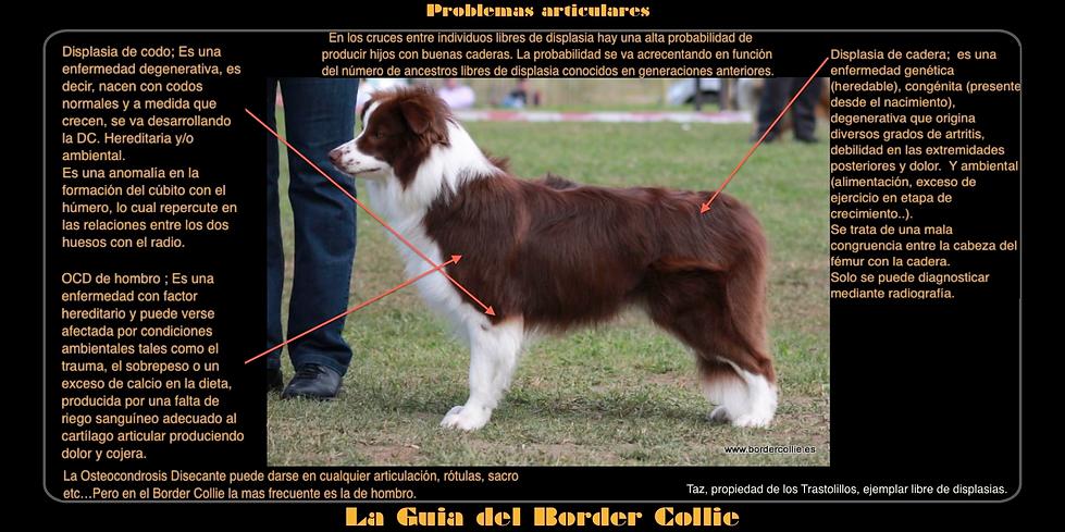 displasia border collie