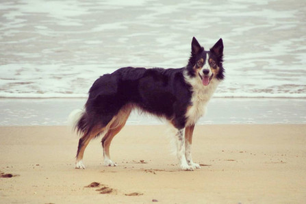 Summer border collie playa