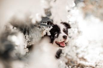 Cachorro de Border Collie