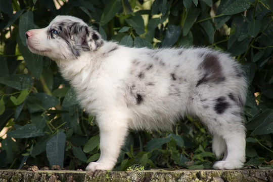 Border Collie cachorro.jpg