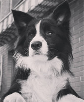 Mind the dog Todo Es Posible, Border Collie