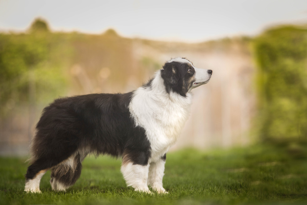 cachorros de border collie madrid.jpg