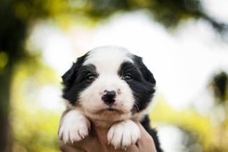 cachorros de border collie