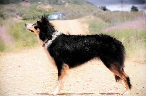 Mind the dog Guilty Summer, Border Collie