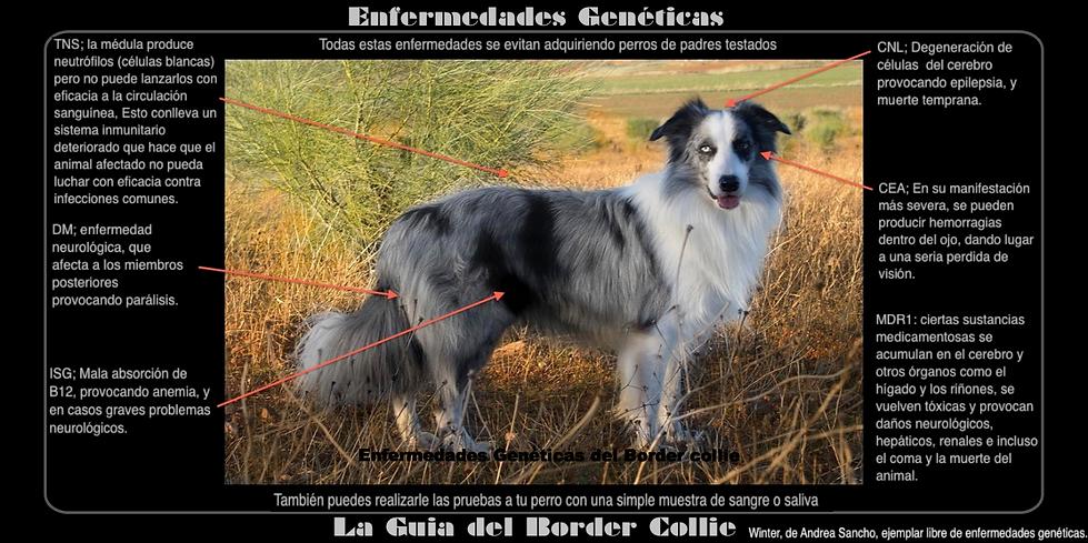 Enfermedades genéticas del Border Collie