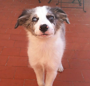 Cachorro de Border Collie Blue merle