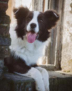 Cachorros de Border Collie disponibles
