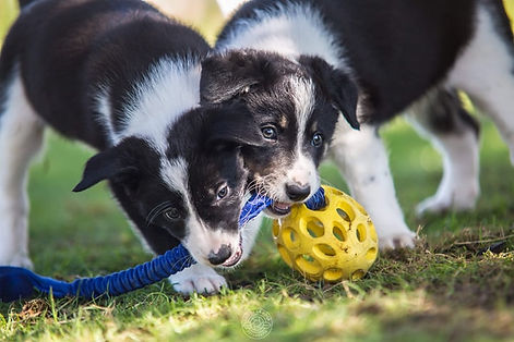 Border Collie de trabajo, agility