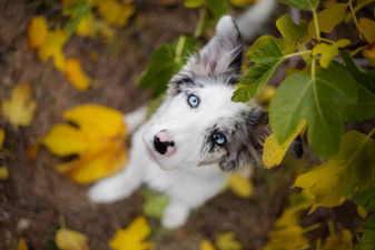 Blue merle cachorro.jpg