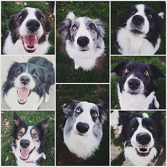 Criadores de Border Collie