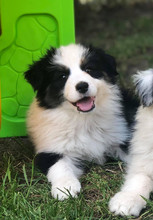 cachorro border collie tricolor.jpg