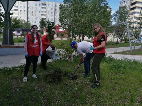В Минусинске высажена аллея доноров
