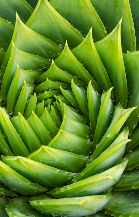 Spiral aloe vera with water drops, close