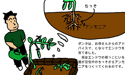 ポンタは、お母さんからのアドバイスで、隣でエンドウを育てました。実はエンドウの根っこにいる菌が、空気中の窒素からアンモニアを作ってくれるのです。