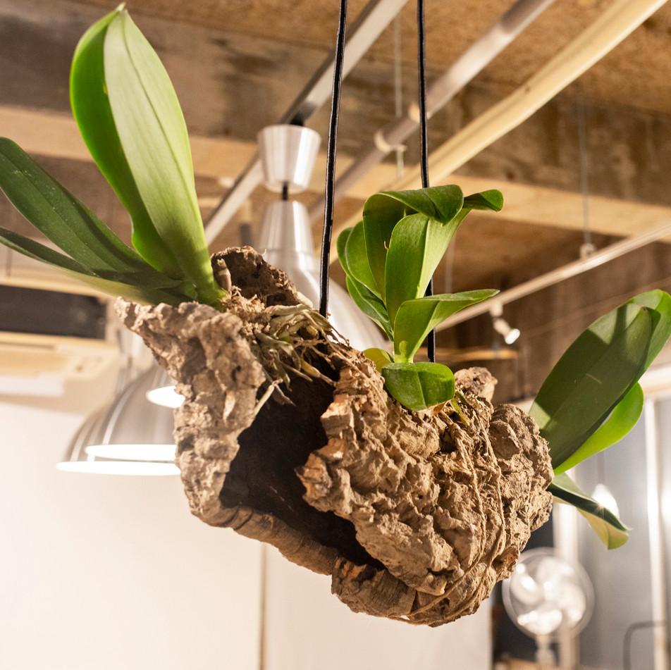 Phalaenopsis hanging