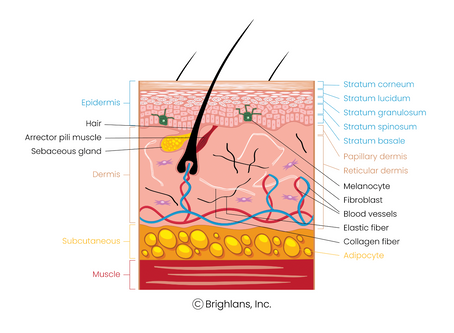 Skin Basics: A Closer Look at Your Skin Structure, Biology, and Function