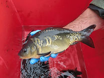 small scaley carp fishing photo three