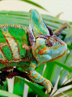 Hamilton, ON: Take Your Dog Chameleon-Shopping For A Limited Time At This Reptile Store