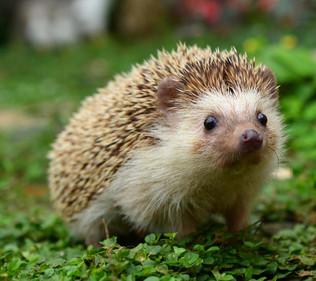 John Oliver vs Chronic the Hedgehog