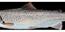 Рыбы и круглоротые, обитающие в пресных водах Мурманской области