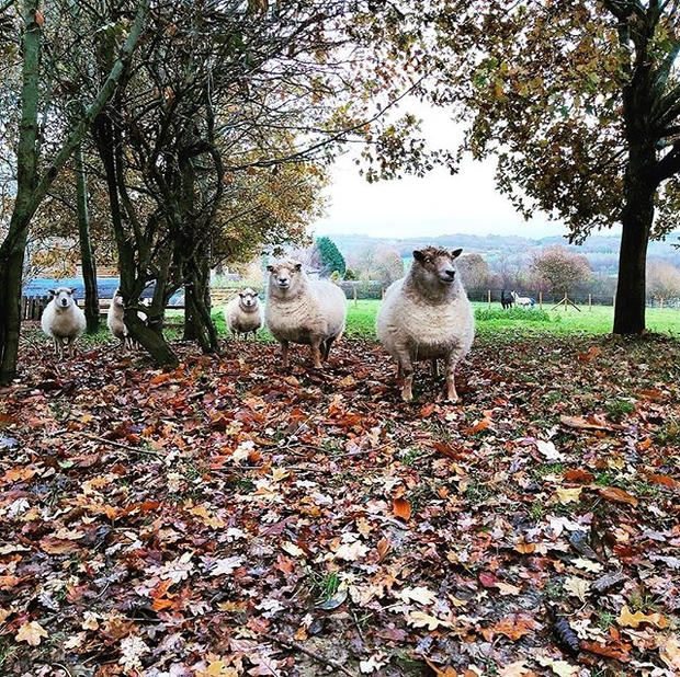 Autumnal sheep