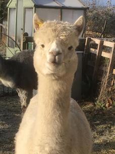 Pepe looking wooly