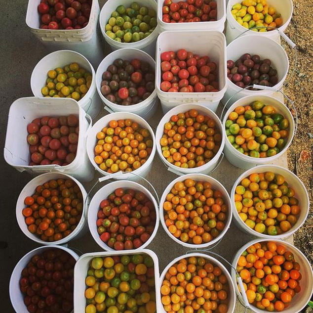 Cherry tomatoes all day long. It's going