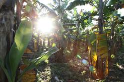 Bananen Bäume