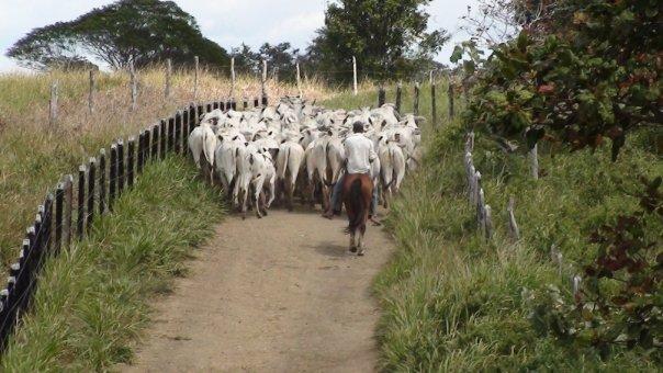 Rinderzucht in der Region