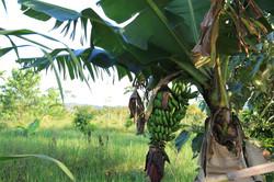 Bananen-Anbau