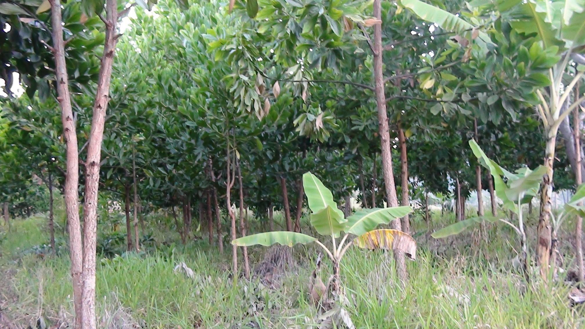 Anbau von Akazien auf Hof Apaoka