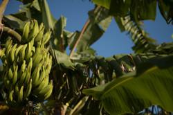 Bananen Plantage