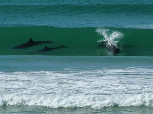 Dolphins in the Surf at Taupo Bay